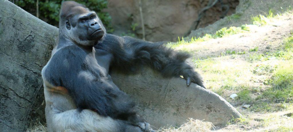 ゴリラも緑内障になる!? NYの巨大動物園で史上初めて手術の撮影に成功 \u2013 Discovery Channel Japan