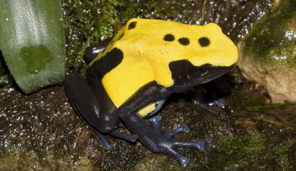 黄色に黒の派手な出で立ち…ヤドクガエルの警戒色はカモフラージュにも ...
