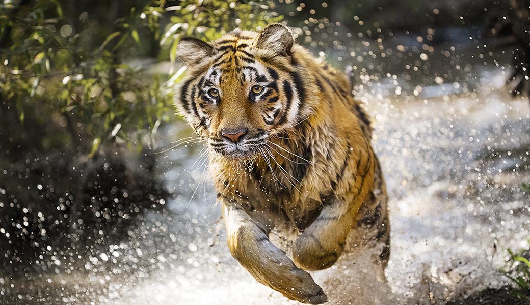 トラがこの100年間で4%まで減少していること、ご存知でしたか ...